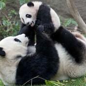 Giant Panda Statistics