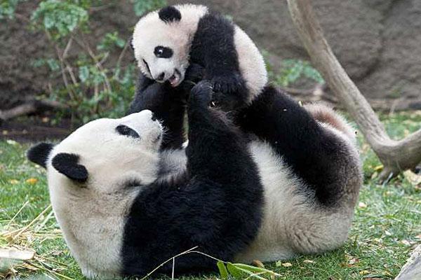 great-panda