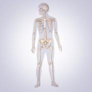 Human Skeleton Statistics