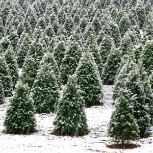 how many christmas trees are sold each year | Beatiful Tree
